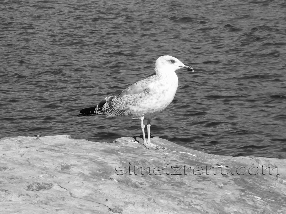 Крым, Симеиз, море, чайка